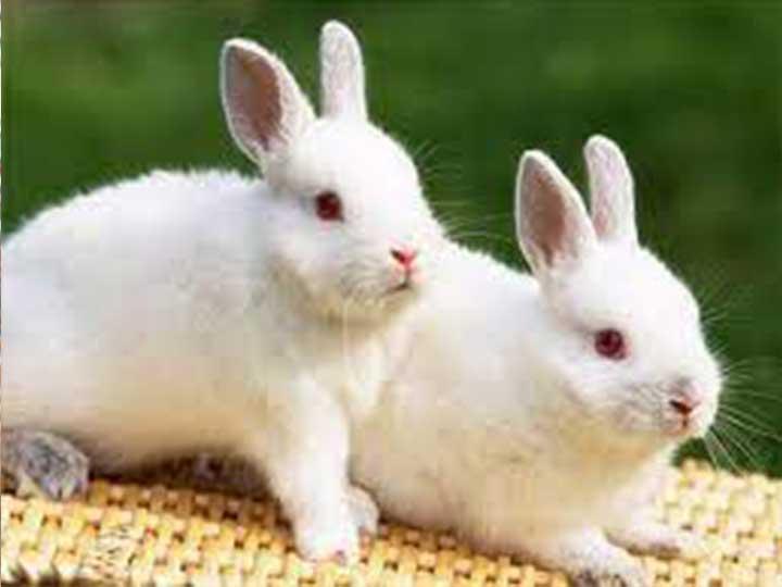 rabbit pellet feed